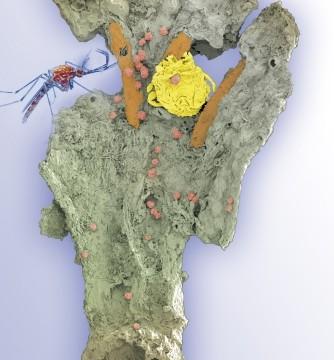 Wappler-Blütenparasit